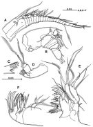 Species Platycopia compacta - Plate 2 of morphological figures