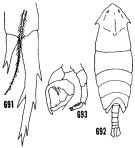 Species Pontella mimocerami - Plate 2 of morphological figures