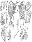 Species Augaptilus glacialis - Plate 4 of morphological figures