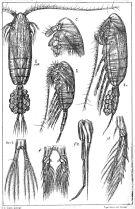Species Pseudocalanus minutus - Plate 2 of morphological figures