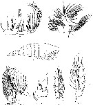 Species Megacalanus princeps - Plate 9 of morphological figures