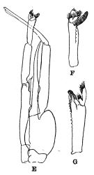 Species Paraeuchaeta tonsa - Plate 4 of morphological figures