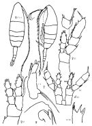 Species Augaptilus glacialis - Plate 5 of morphological figures