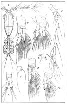 Species Oithona similis-Group - Plate 3 of morphological figures