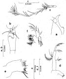 Species Oithona atlantica - Plate 7 of morphological figures