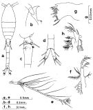 Species Oithona plumifera - Plate 3 of morphological figures