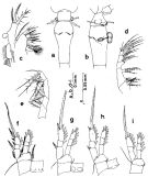 Species Oithona similis-Group - Plate 5 of morphological figures