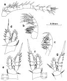 Species Oithona simplex - Plate 8 of morphological figures