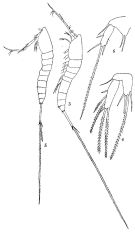 Species Macrosetella gracilis - Plate 2 of morphological figures