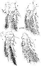 Species Spinoncaea ivlevi - Plate 3 of morphological figures