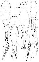 Species Spinoncaea ivlevi - Plate 4 of morphological figures
