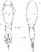 Species Spinoncaea ivlevi - Plate 5 of morphological figures