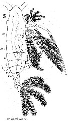 Species Haloptilus fertilis - Plate 2 of morphological figures