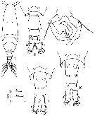 Species Acartia (Odontacartia) ohtsukai - Plate 4 of morphological figures