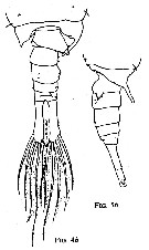 Species Anomalocera patersoni - Plate 21 of morphological figures