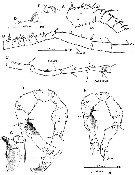 Species Gaussia princeps - Plate 7 of morphological figures