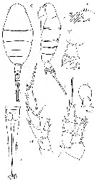 Species Lucicutia anomala - Plate 3 of morphological figures