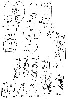Species Undinella simplex - Plate 3 of morphological figures
