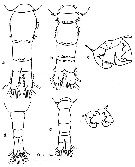 Species Acartia (Acartiura) clausi - Plate 25 of morphological figures