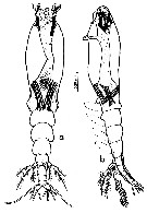 Species Monstrilla gibbosa - Plate 1 of morphological figures