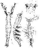 Species Cymbasoma tenue - Plate 1 of morphological figures