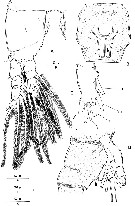 Species Monstrilla grandis - Plate 3 of morphological figures