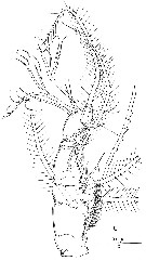 Species Cymbasoma longispinosum - Plate 1 of morphological figures