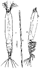 Species Cymbasoma chelemense - Plate 1 of morphological figures