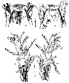 Species Cymbasoma chelemense - Plate 2 of morphological figures