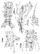 Species Cymbasoma quintanarooense - Plate 6 of morphological figures