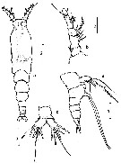 Species Monstrilla barbata - Plate 1 of morphological figures
