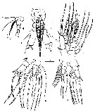 Species Monstrilla elongata - Plate 2 of morphological figures