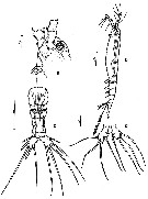 Species Monstrillopsis ciqroi - Plate 1 of morphological figures