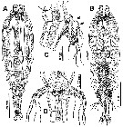 Species Monstrilla brasiliensis - Plate 1 of morphological figures