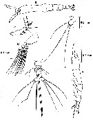 Species Cymbasoma striatum - Plate 1 of morphological figures