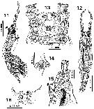 Species Cymbasoma javensis - Plate 2 of morphological figures