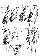 Species Misophriopsis sinensis - Plate 2 of morphological figures