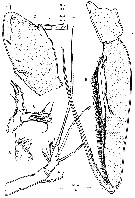 Species Paralubbockia longipedia - Plate 11 of morphological figures