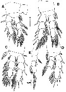 Species Archimisophria discoveryi - Plate 4 of morphological figures