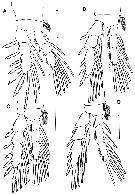 Species Expansophria dimorpha - Plate 3 of morphological figures