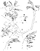 Species Palpophria aestheta - Plate 2 of morphological figures