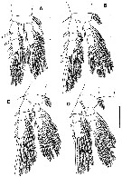 Species Palpophria aestheta - Plate 3 of morphological figures