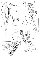 Species Dimisophria cavernicola - Plate 1 of morphological figures