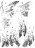 Species Dimisophria cavernicola - Plate 2 of morphological figures