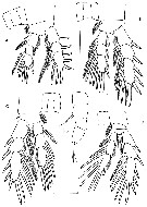 Species Expansophria galapagensis - Plate 3 of morphological figures