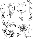 Species Scolecithrix bradyi - Plate 5 of morphological figures