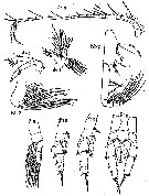 Species Scolecithricella vittata - Plate 13 of morphological figures