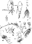 Species Scolecithricella dentata - Plate 14 of morphological figures