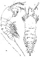Species Andromastax muricatus - Plate 1 of morphological figures