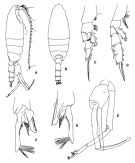 Species Paraeuchaeta antarctica - Plate 3 of morphological figures
